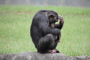 悩むチンパンジー
