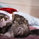 サンタコスプレする猫
