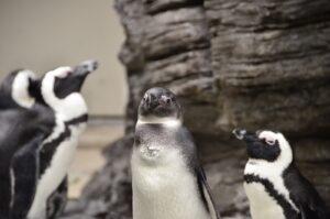 三匹のペンギン
