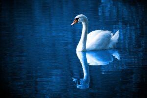 闇夜に浮かぶ白鳥